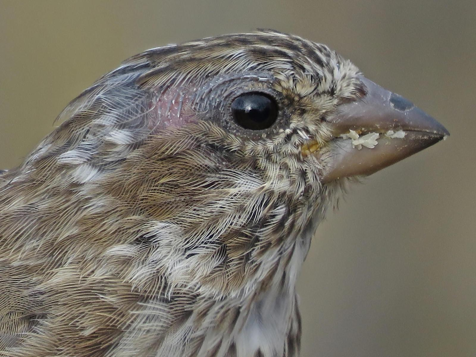 Purple Finch Photo by Bob Neugebauer
