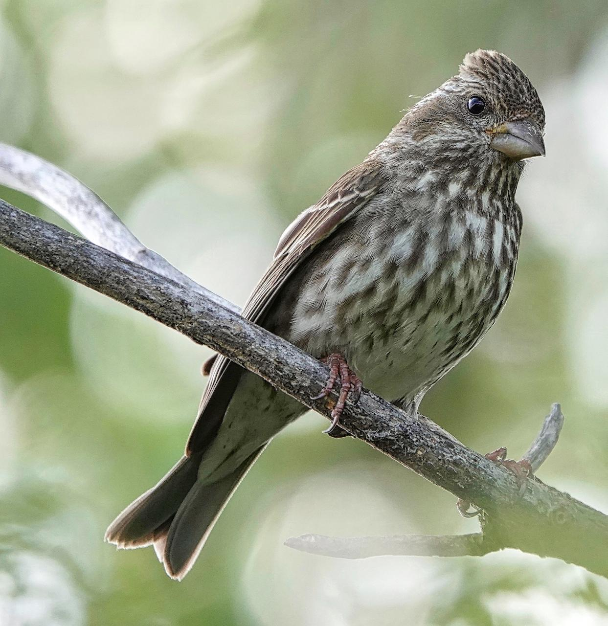 Purple Finch (Western) Photo by Brian Avent