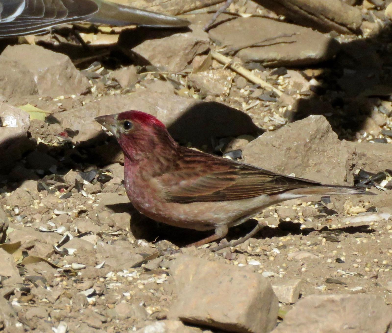 Cassin's Finch Photo by Don Glasco