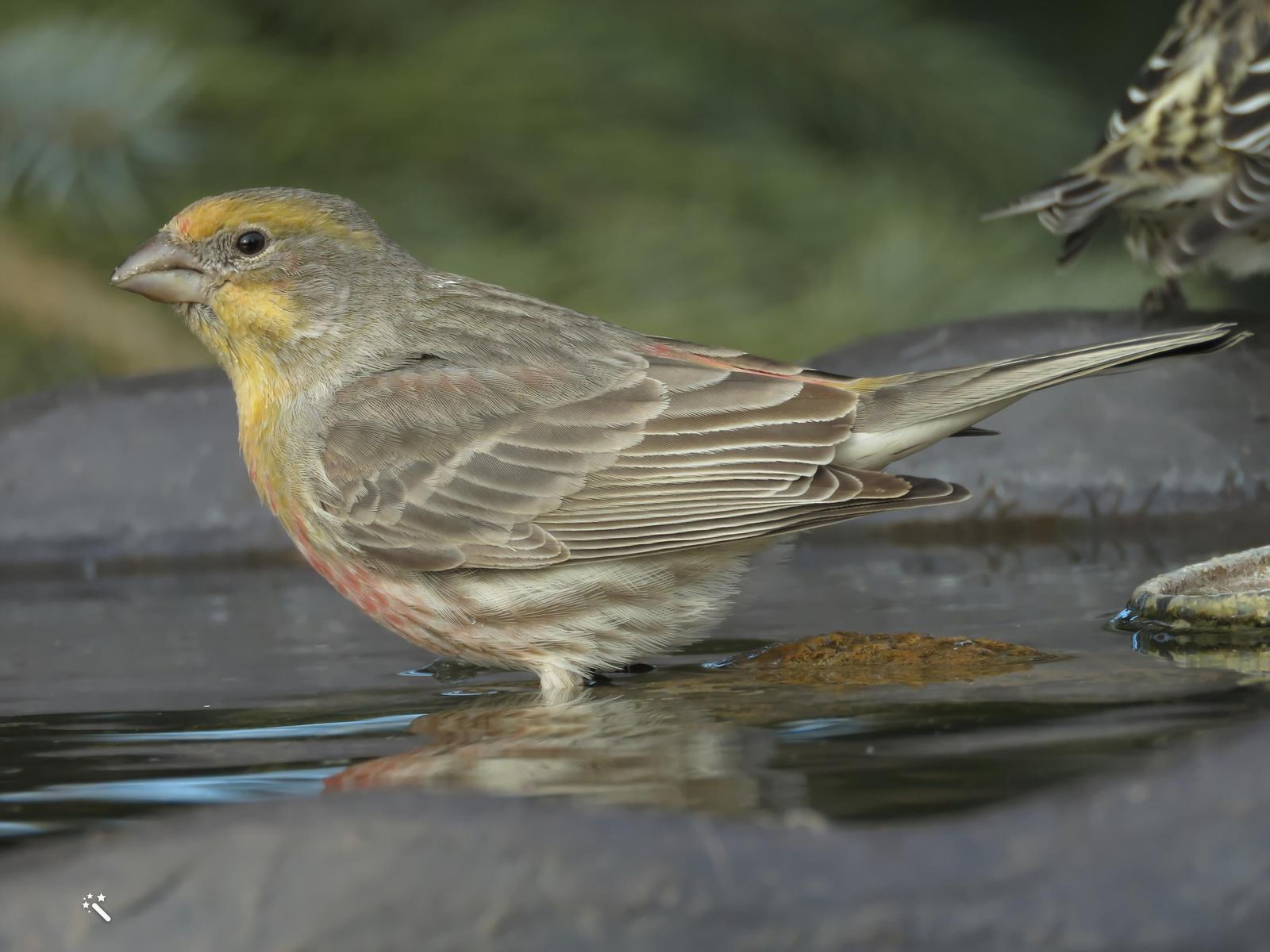 House Finch Photo by Bob Neugebauer