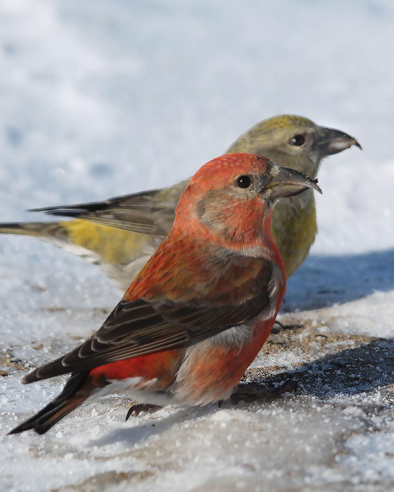 Red Crossbill Photo by Dylan Hopkins