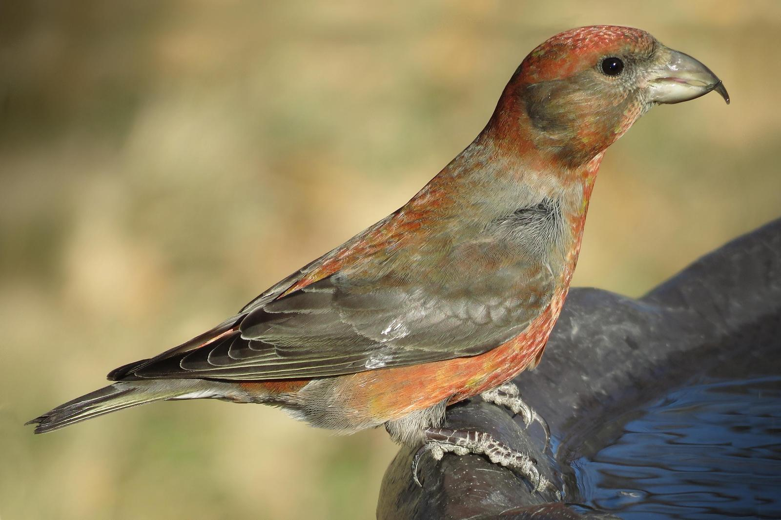Red Crossbill Photo by Bob Neugebauer