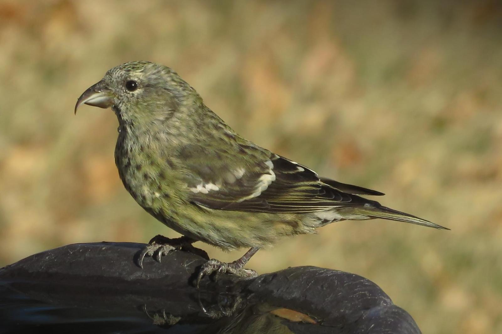 White-winged Crossbill Photo by Bob Neugebauer