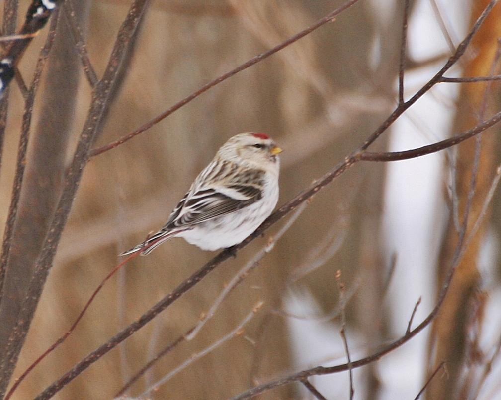 Hoary Redpoll Photo by Andrew Theus