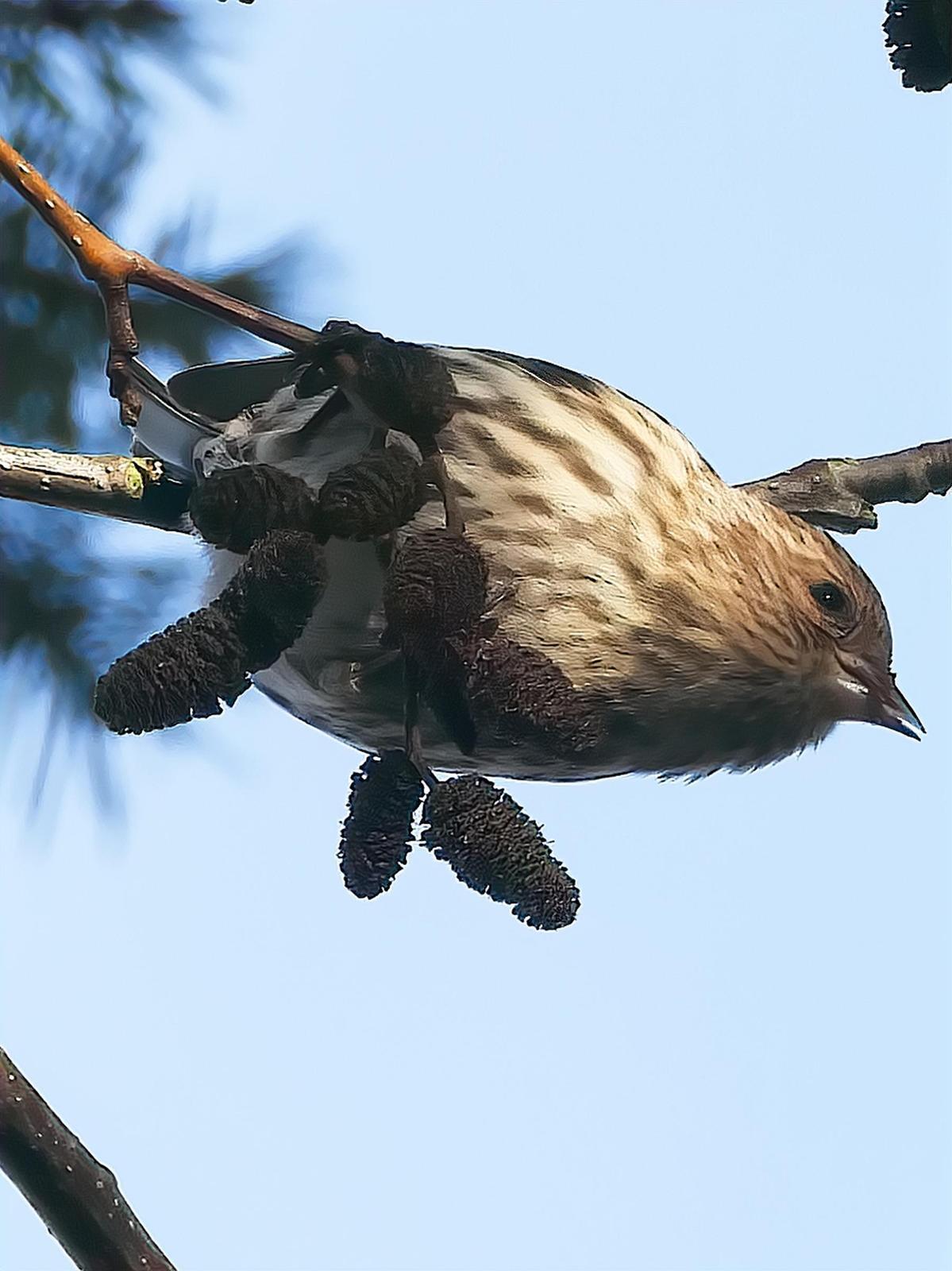 Pine Siskin Photo by Dan Tallman