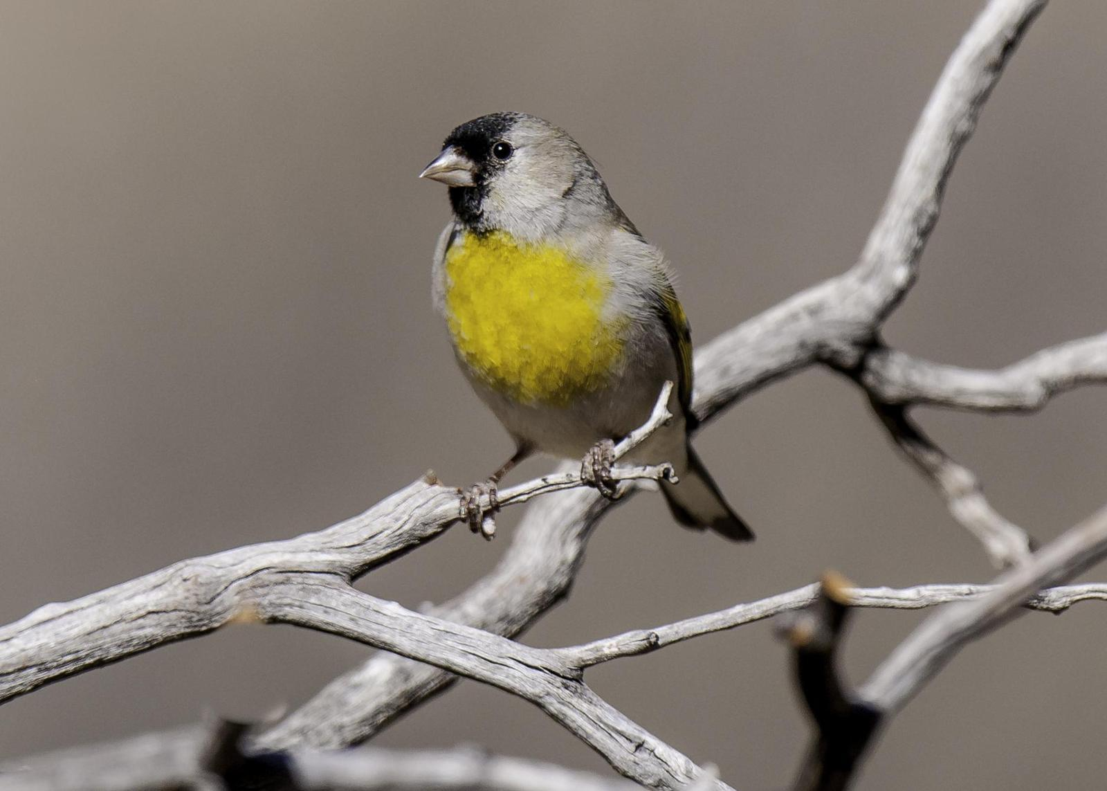 Lawrence's Goldfinch Photo by Mason Rose