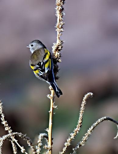 Lawrence's Goldfinch Photo by Dan Tallman