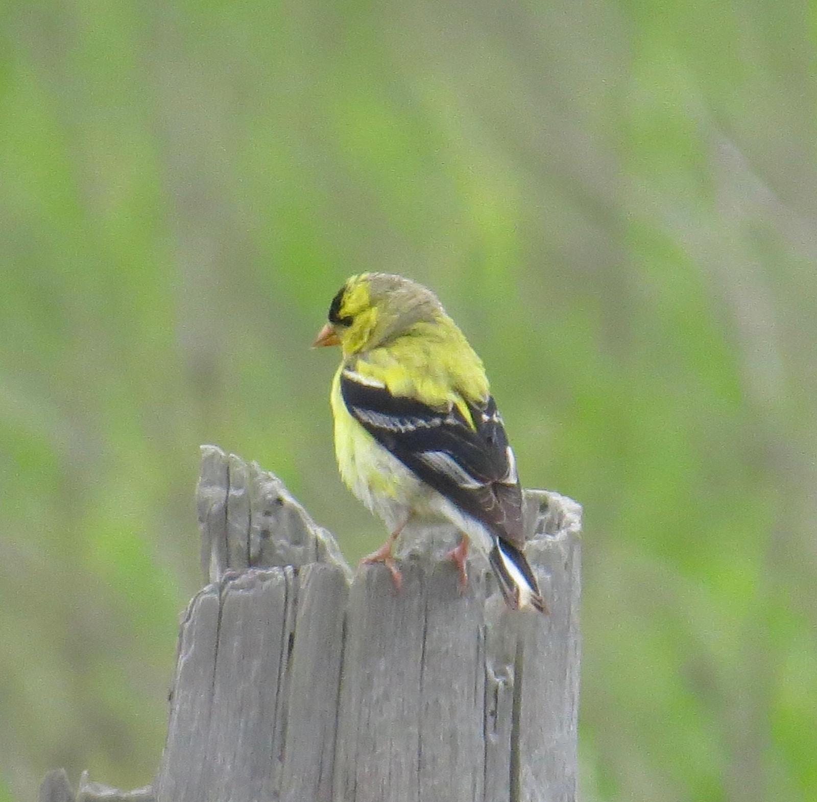 American Goldfinch Photo by Don Glasco