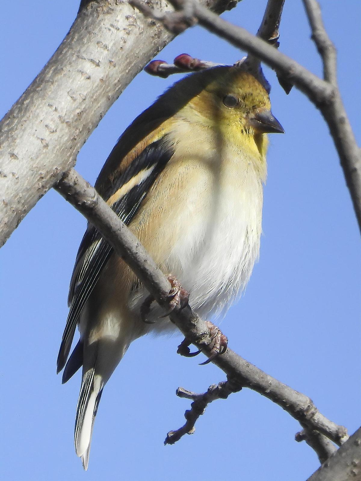 American Goldfinch Photo by Dan Tallman