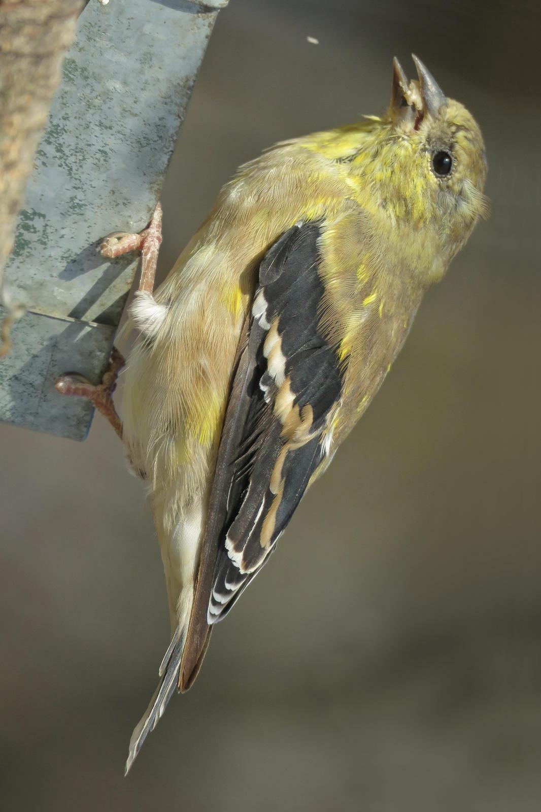 American Goldfinch Photo by Bob Neugebauer