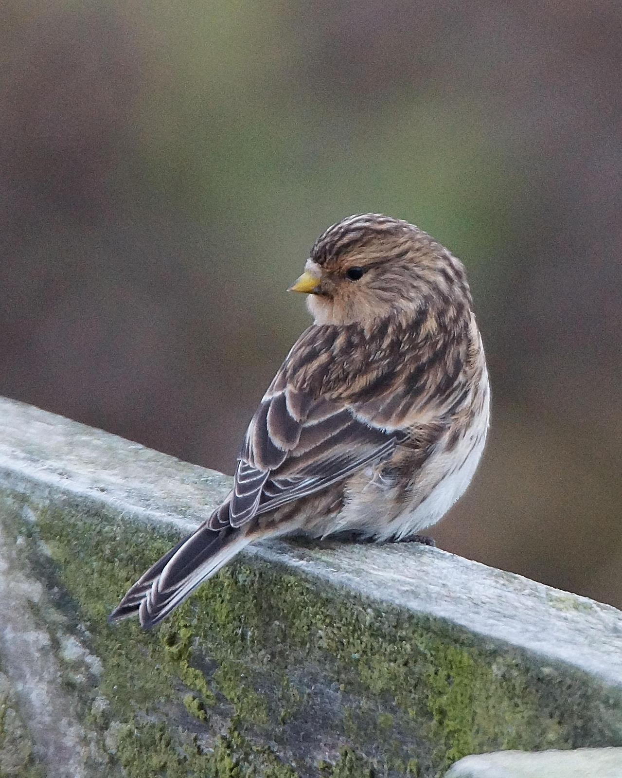 Twite Photo by Steve Percival