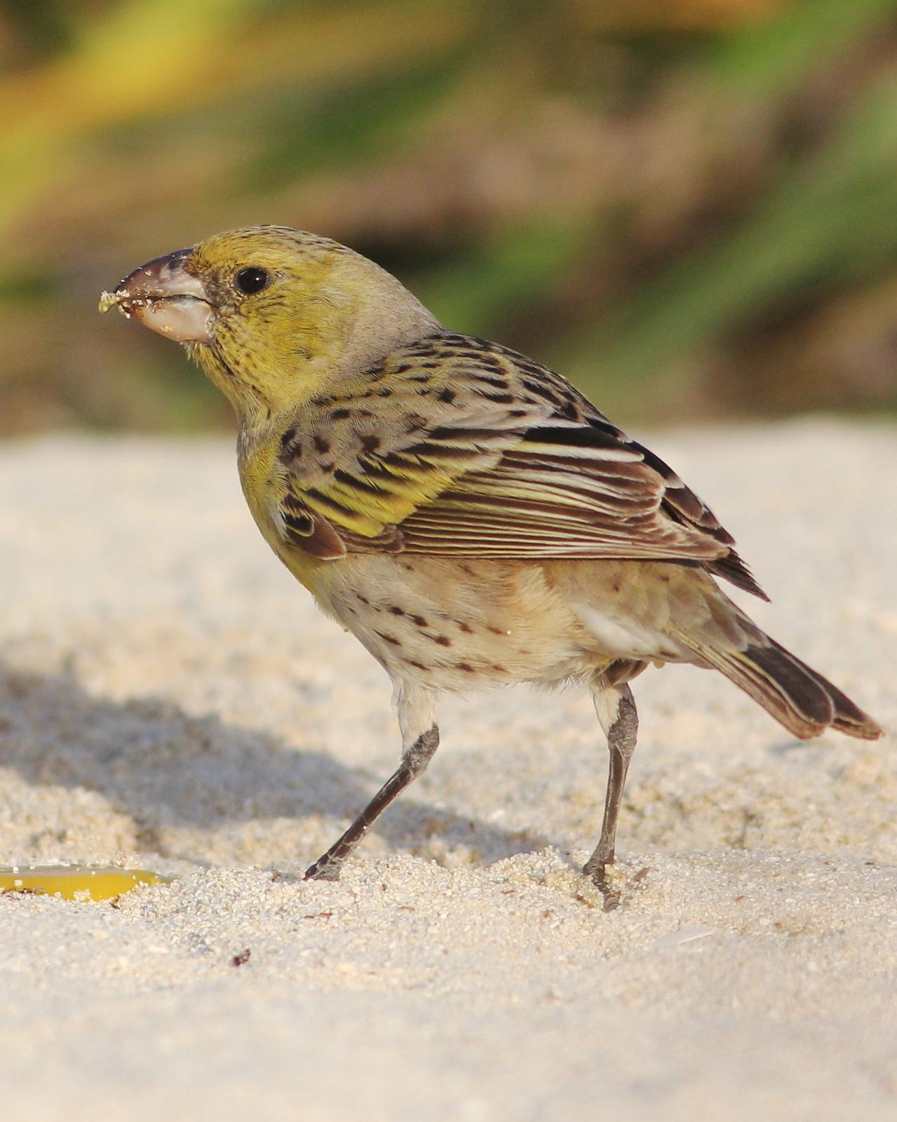 Laysan Finch Photo by Cameron Rutt