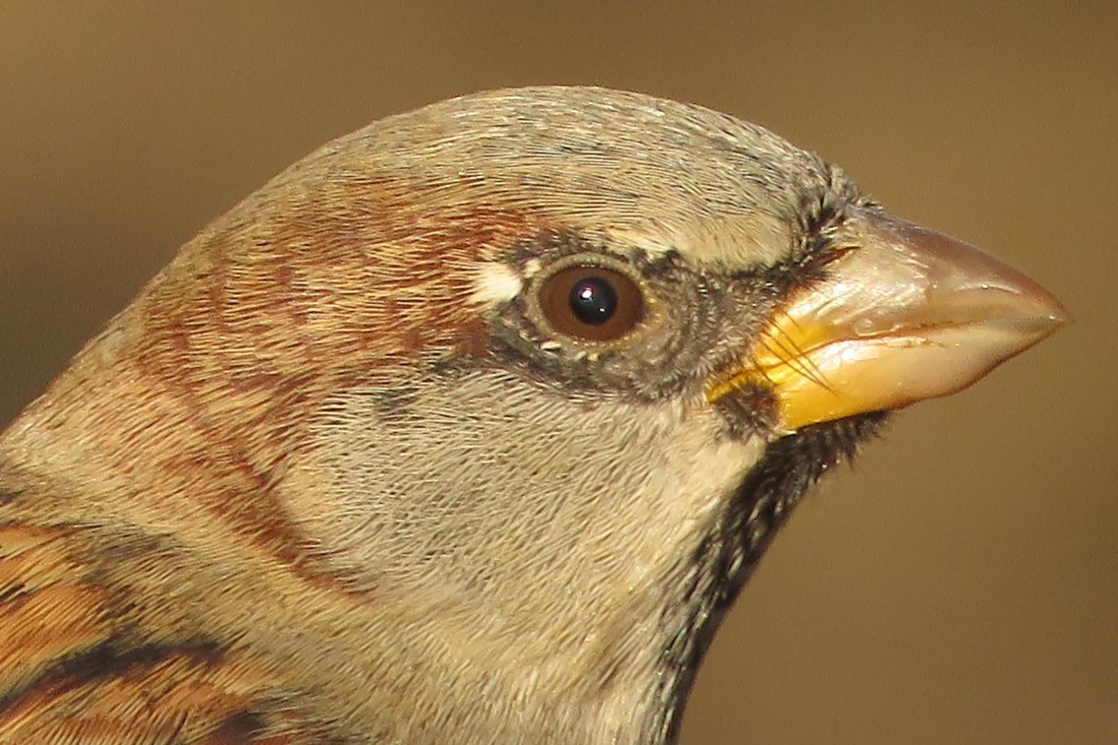 House Sparrow Photo by Bob Neugebauer