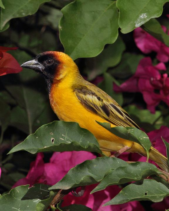 Northern Masked-Weaver Photo by Jack Jeffrey