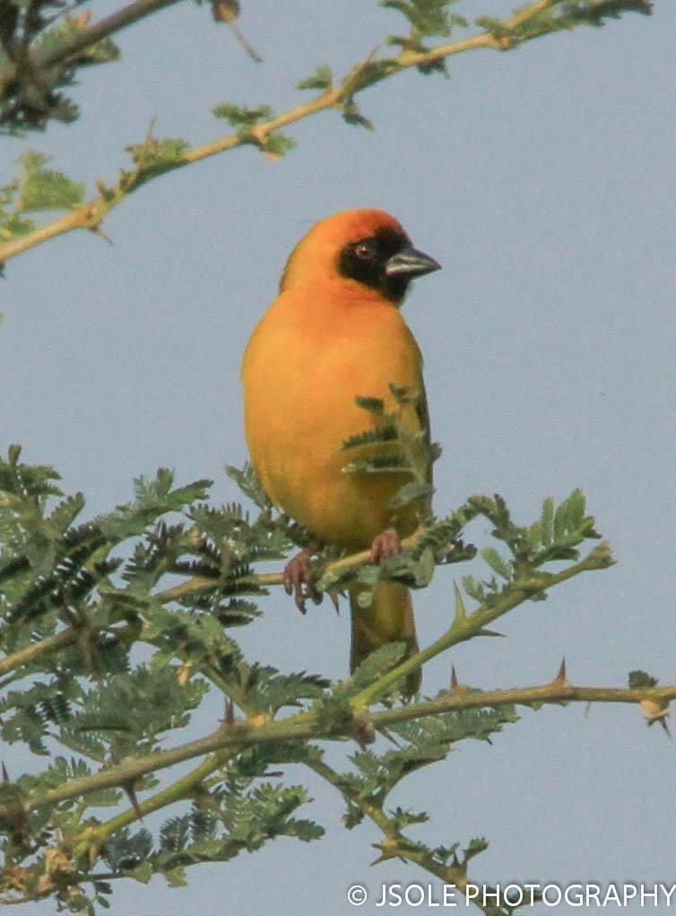 Northern Masked-Weaver Photo by Jeffery Sole
