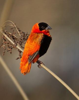 Northern Red Bishop Photo by Christopher Taylor