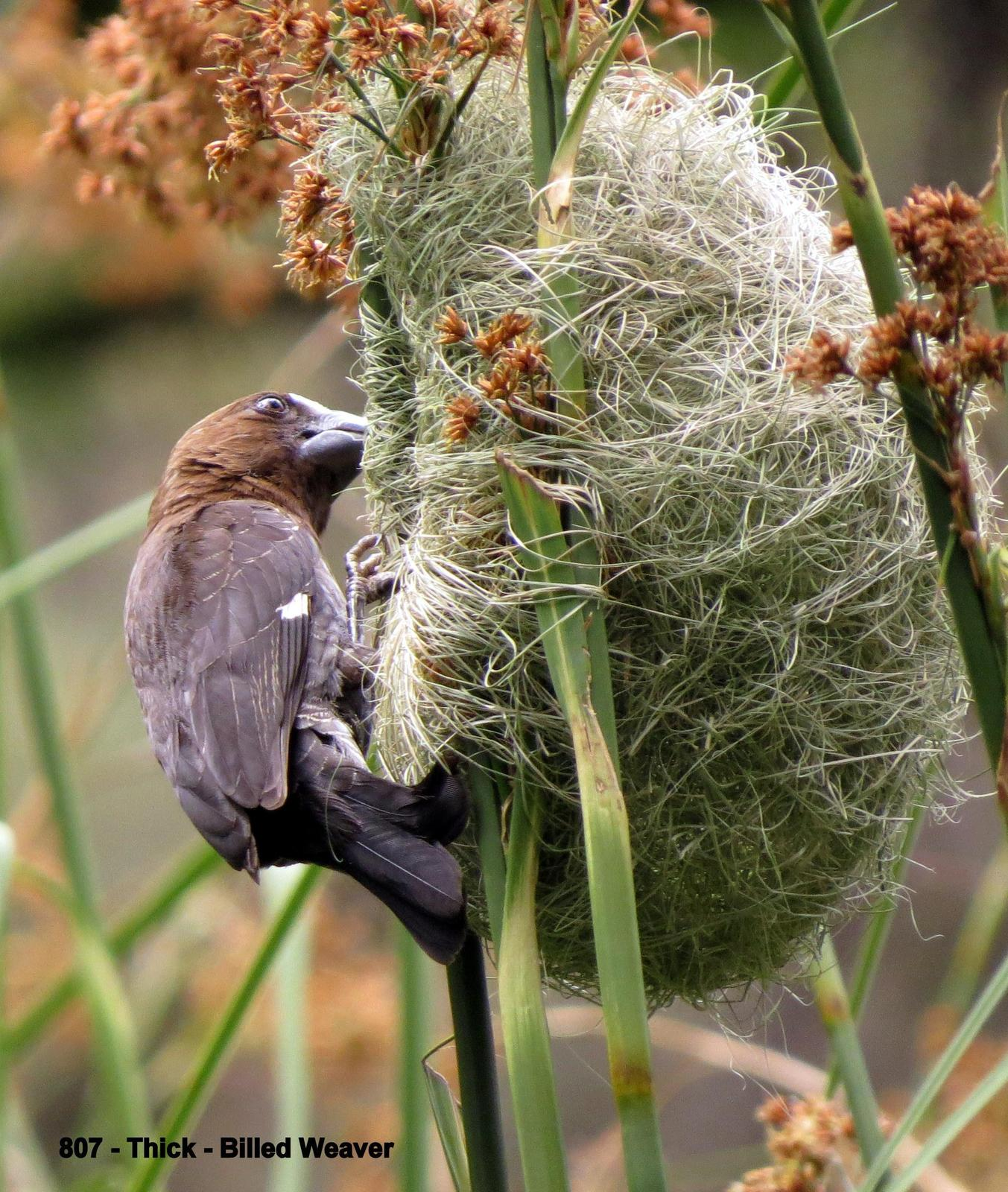 Grosbeak Weaver Photo by Richard  Lowe