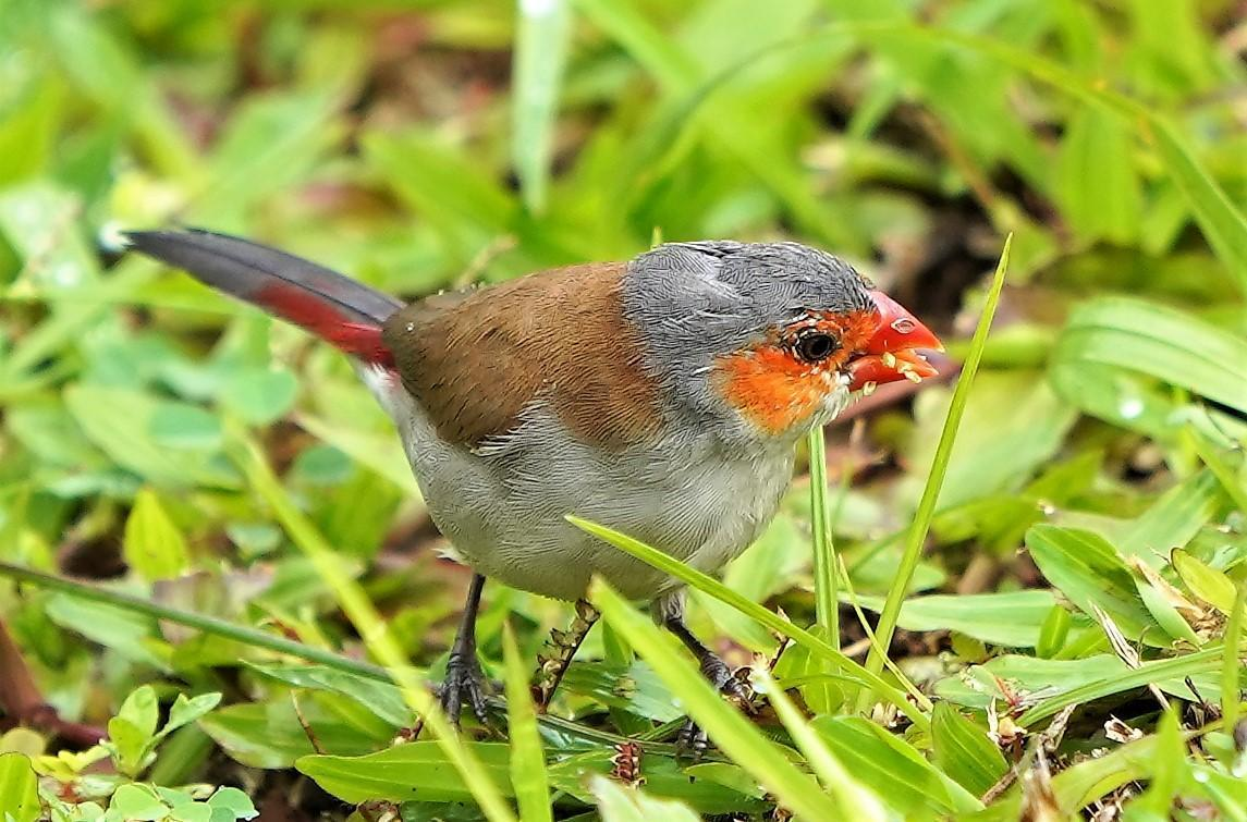 Orange-cheeked Waxbill Photo by Steven Cheong