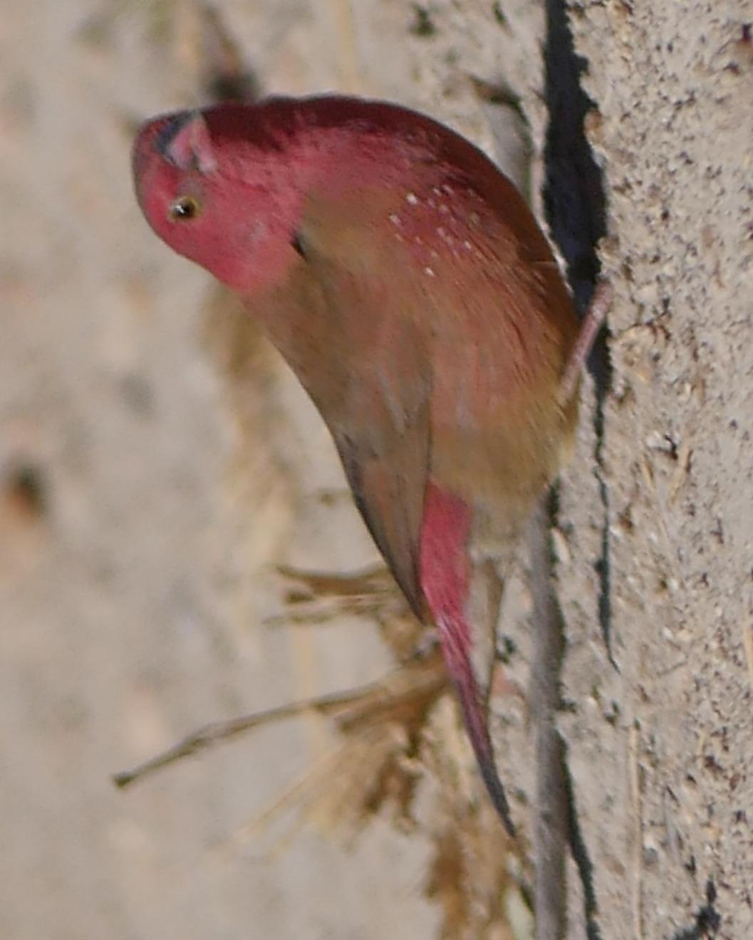 Red-billed Firefinch Photo by Peter Lowe