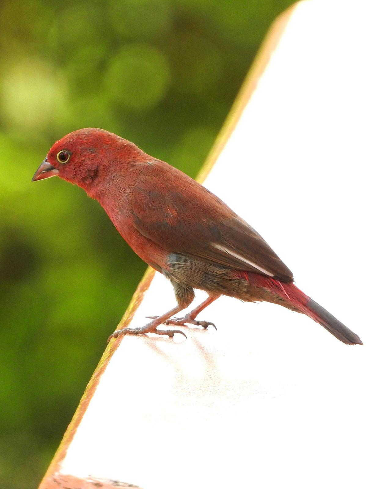 Red-billed Firefinch Photo by Todd A. Watkins