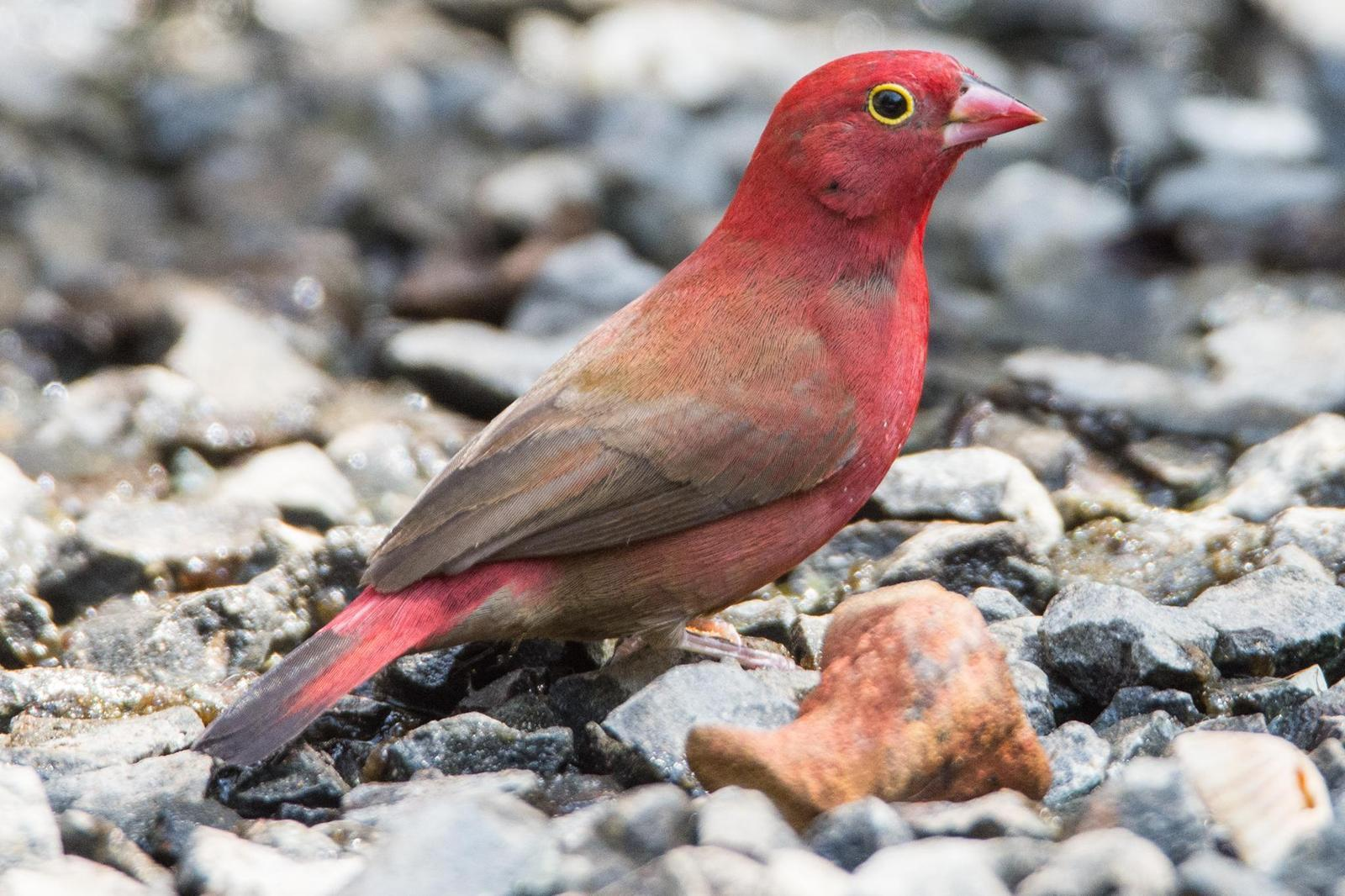 Red-billed Firefinch Photo by Rob Garner