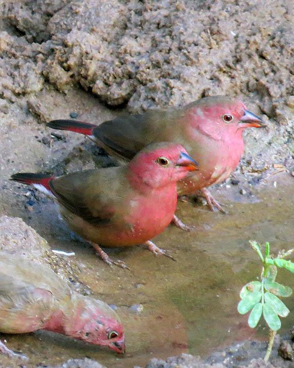 Red-billed Firefinch Photo by Peter Boesman