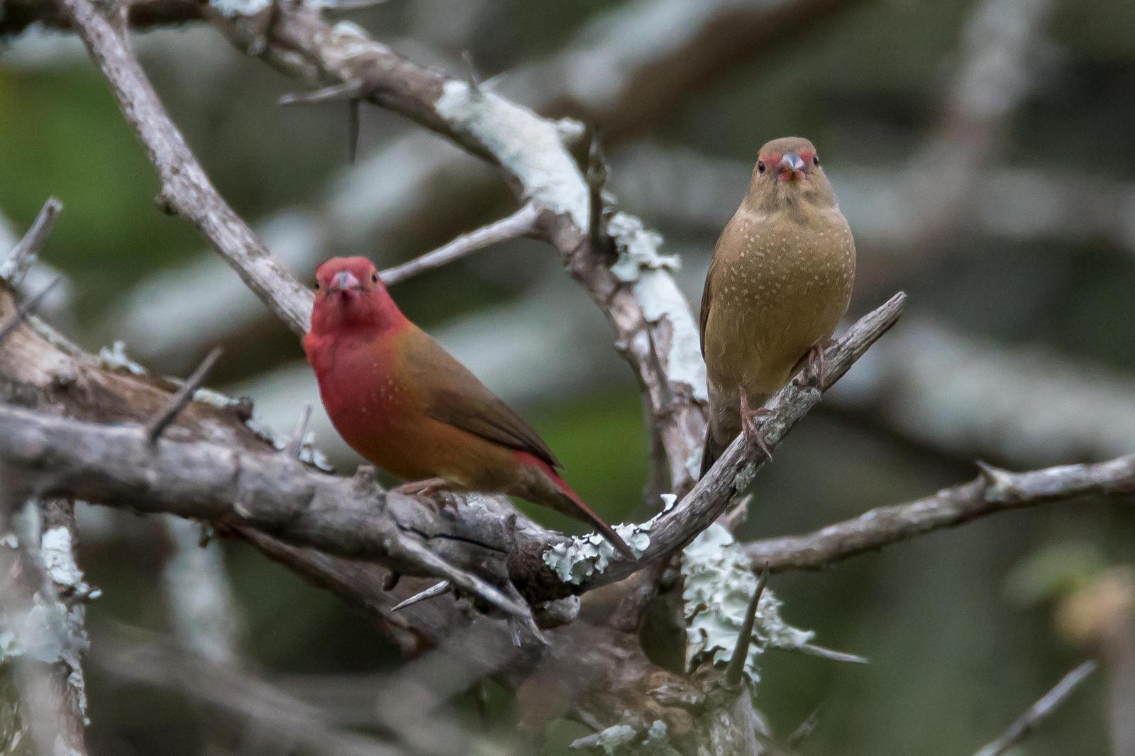 Red-billed Firefinch Photo by Gerald Hoekstra