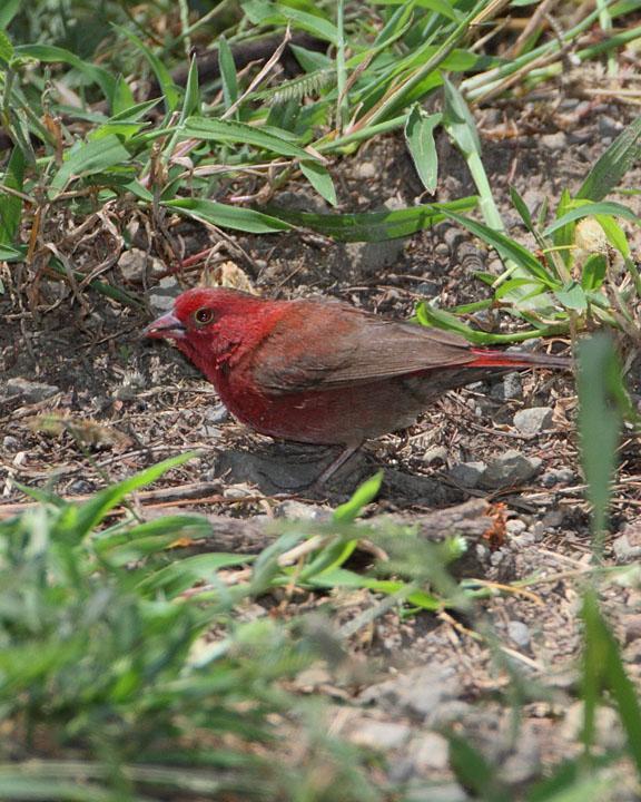 Red-billed Firefinch Photo by Jack Jeffrey