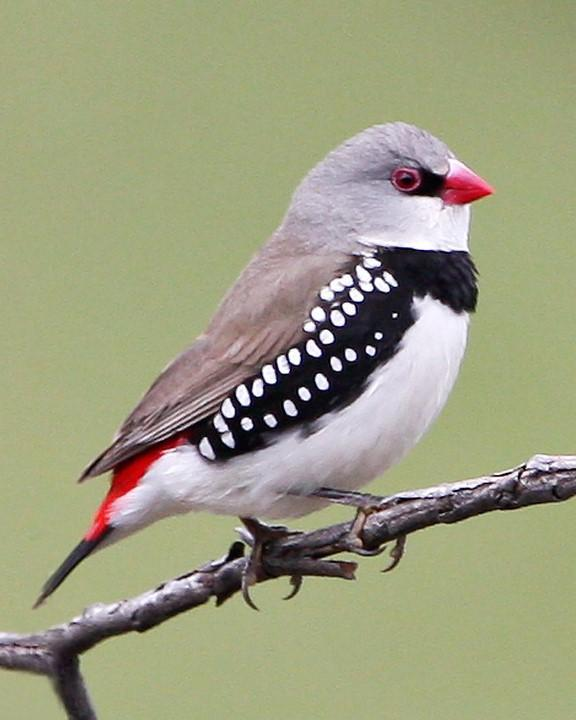 Diamond Firetail Photo by Mat Gilfedder