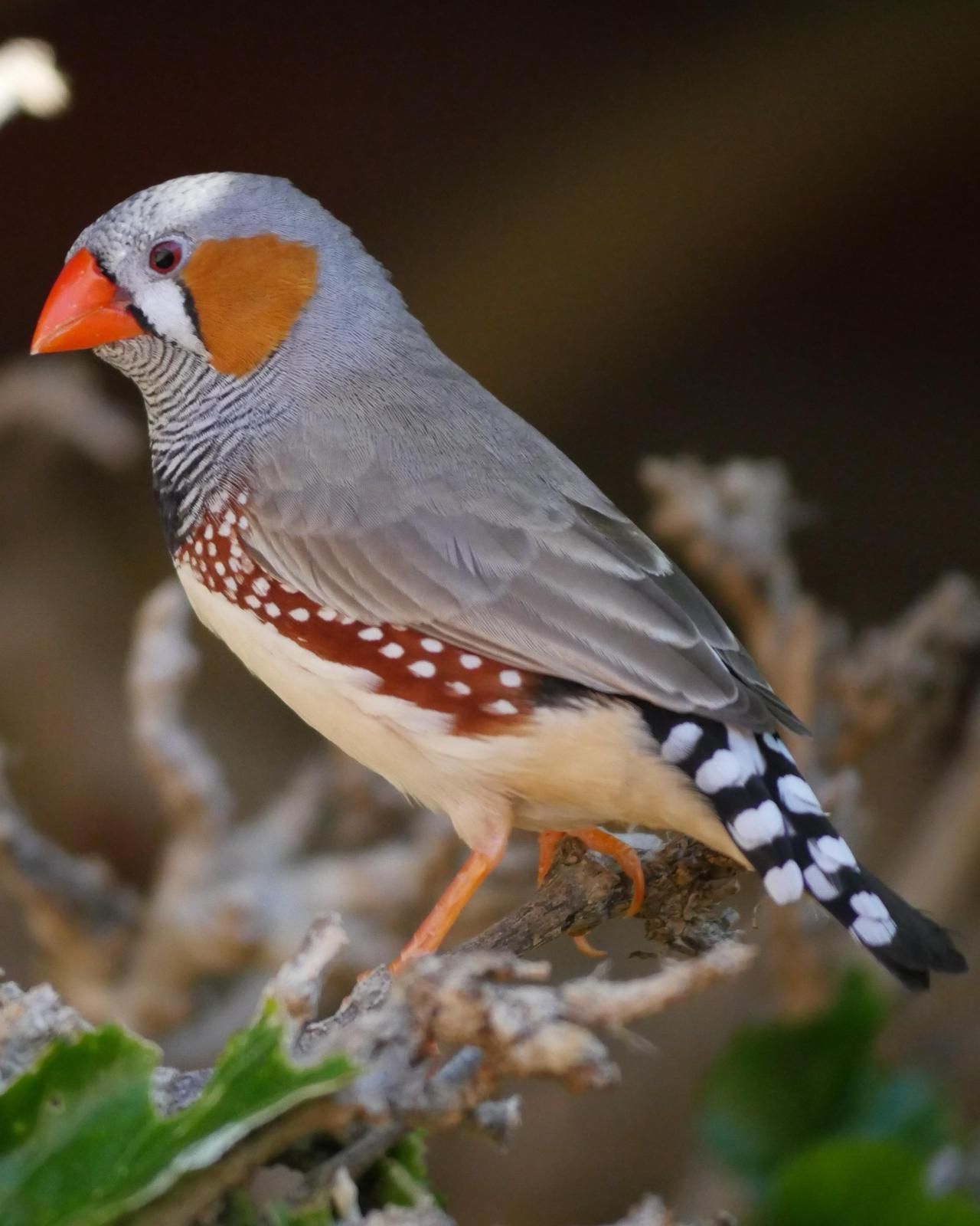 Zebra Finch (Australian) Photo by Peter Lowe