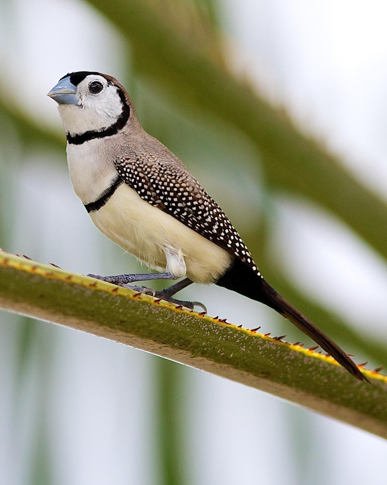 Double-barred Finch Photo by Luke Shelley