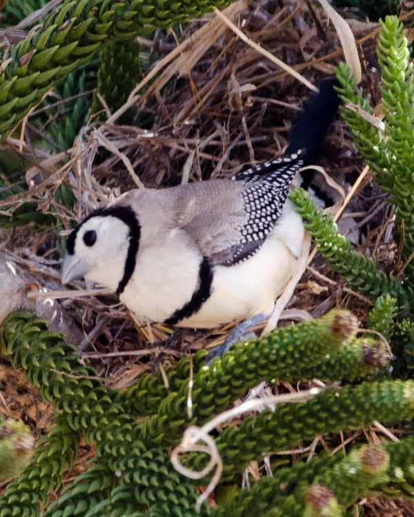 Double-barred Finch Photo by Bob Hasenick