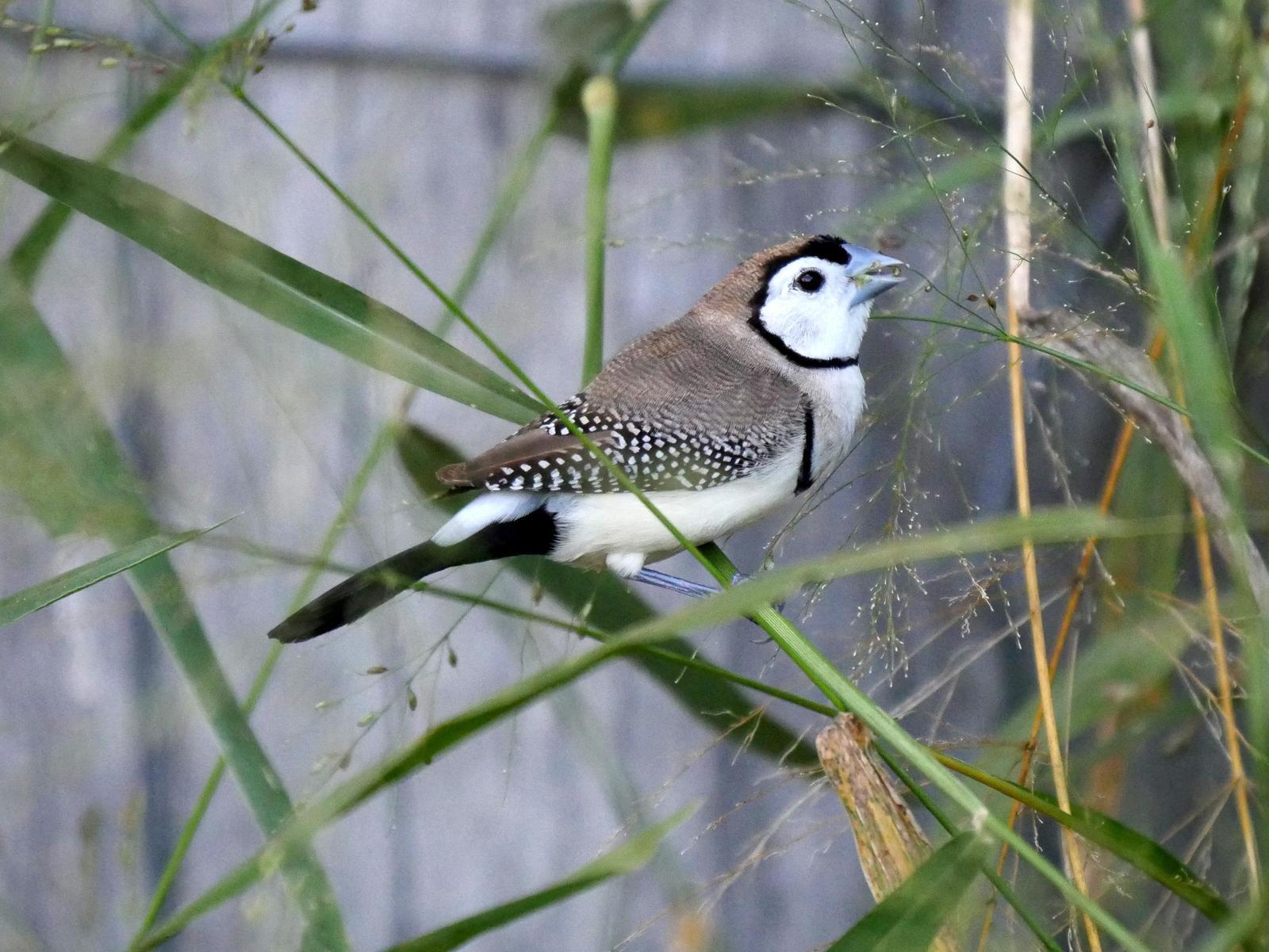 Double-barred Finch Photo by Peter Lowe