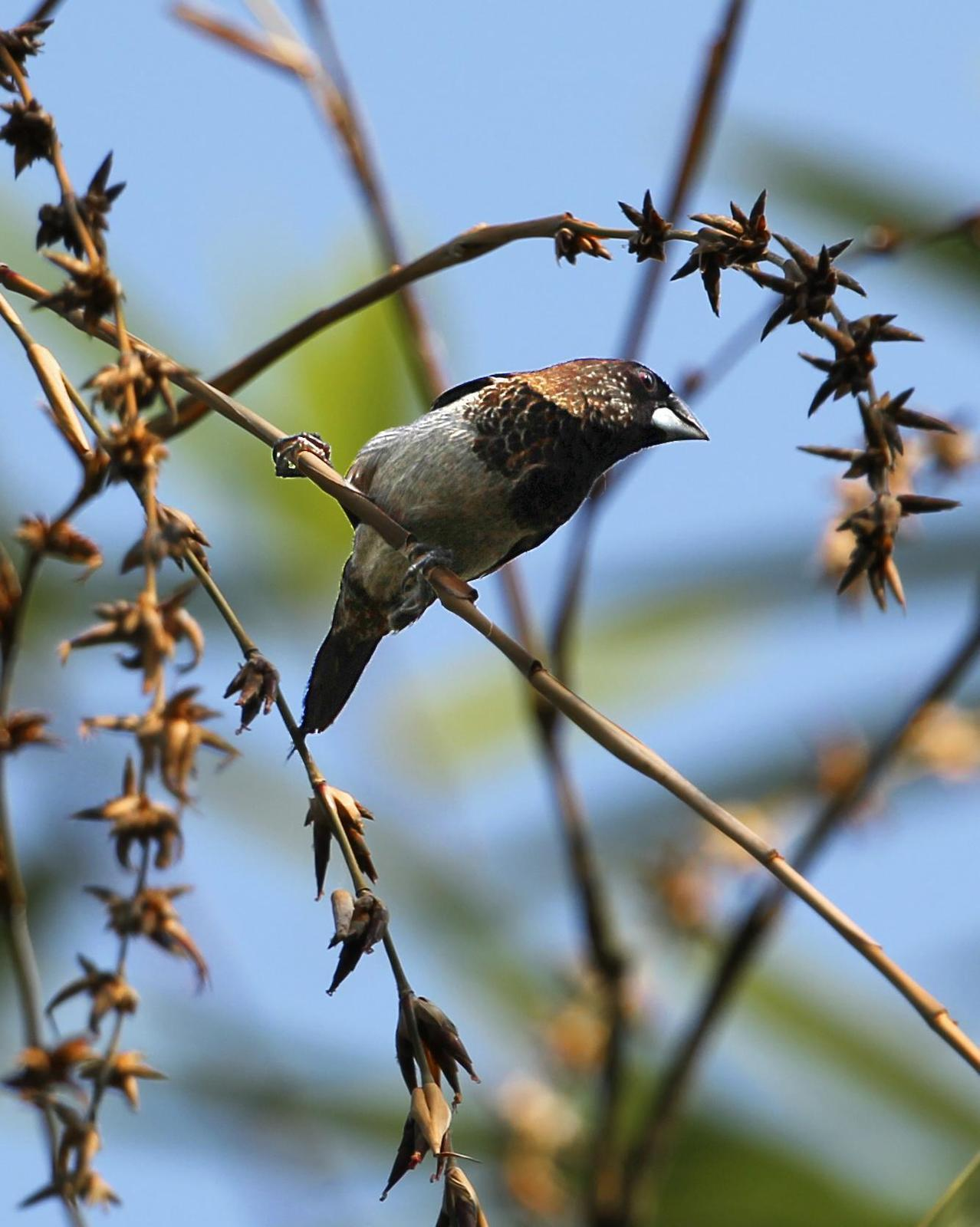 White-rumped Munia Photo by Kenneth Cheong
