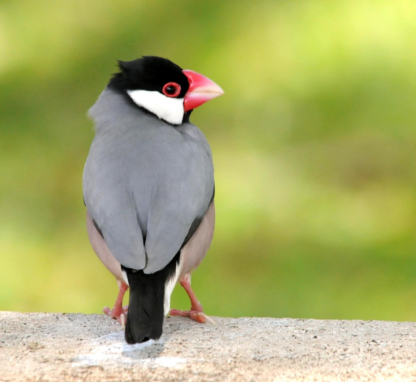 Java Sparrow Photo by Steven Mlodinow