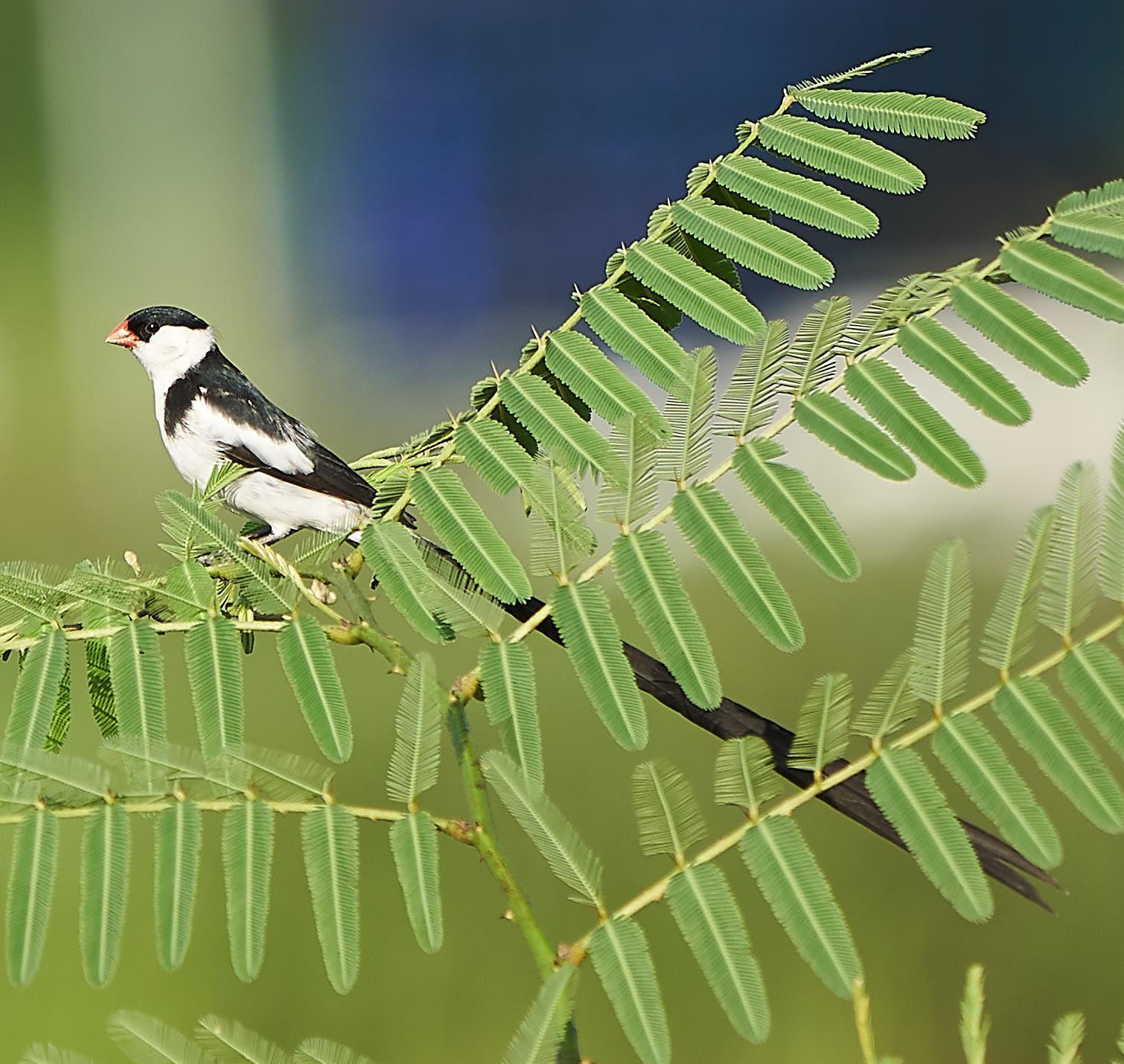 Pin-tailed Whydah Photo by Steven Cheong