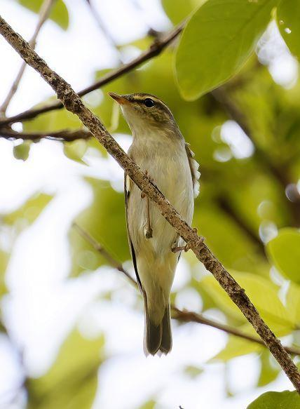 Arctic Warbler Photo by Kenneth Cheong