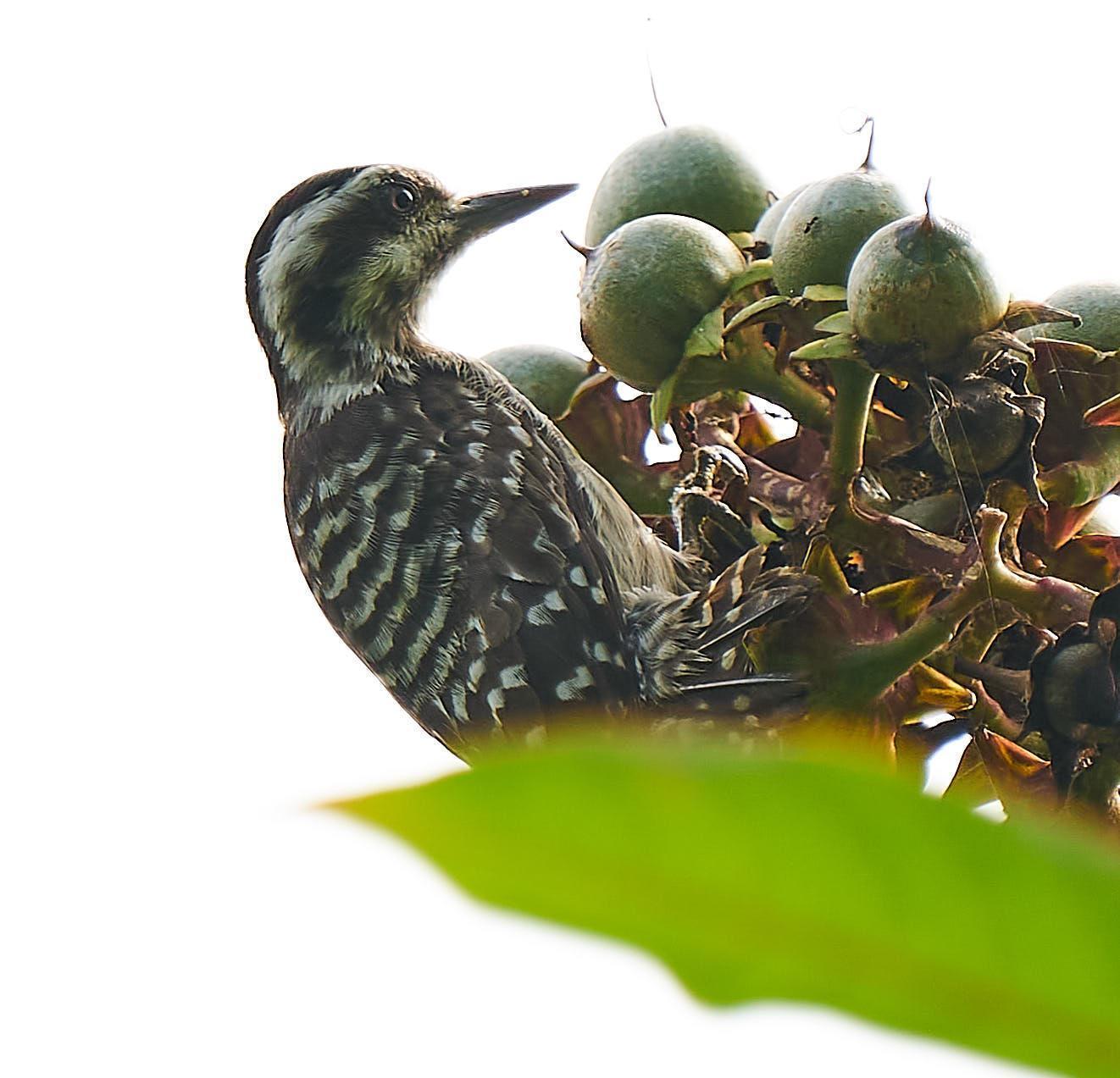 Sunda Woodpecker Photo by Steven Cheong