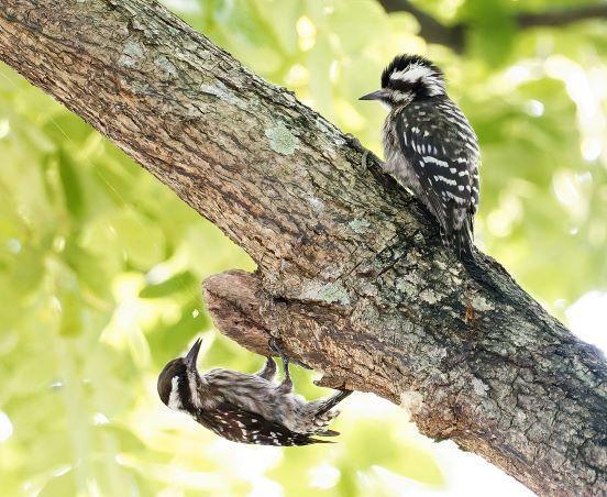 Sunda Woodpecker Photo by Kenneth Cheong