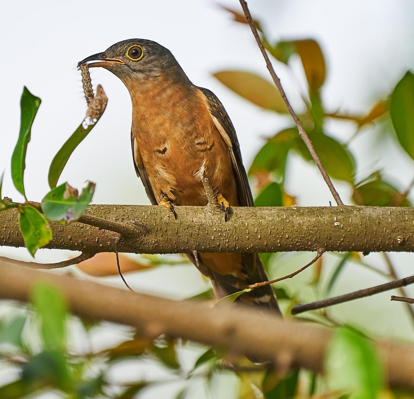 Brush Cuckoo (Rusty-breasted) Photo by Steven Cheong