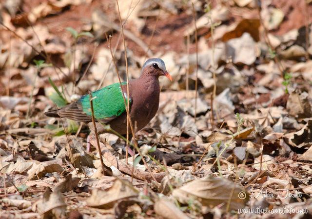 Asian Emerald Dove Photo by Mihir Joshi