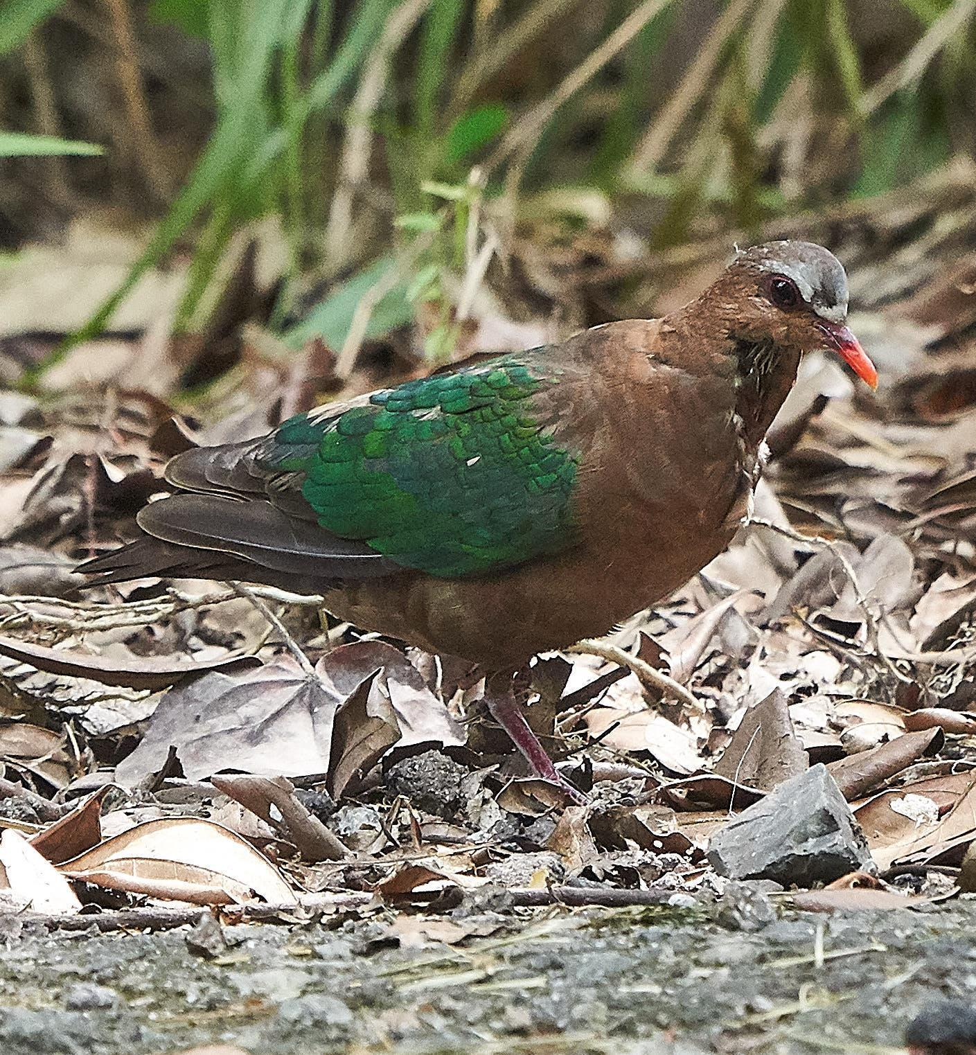 Asian Emerald Dove Photo by Steven Cheong