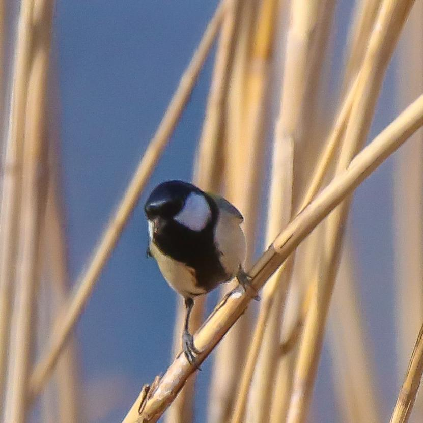 Japanese Tit Photo by Kevin Moore