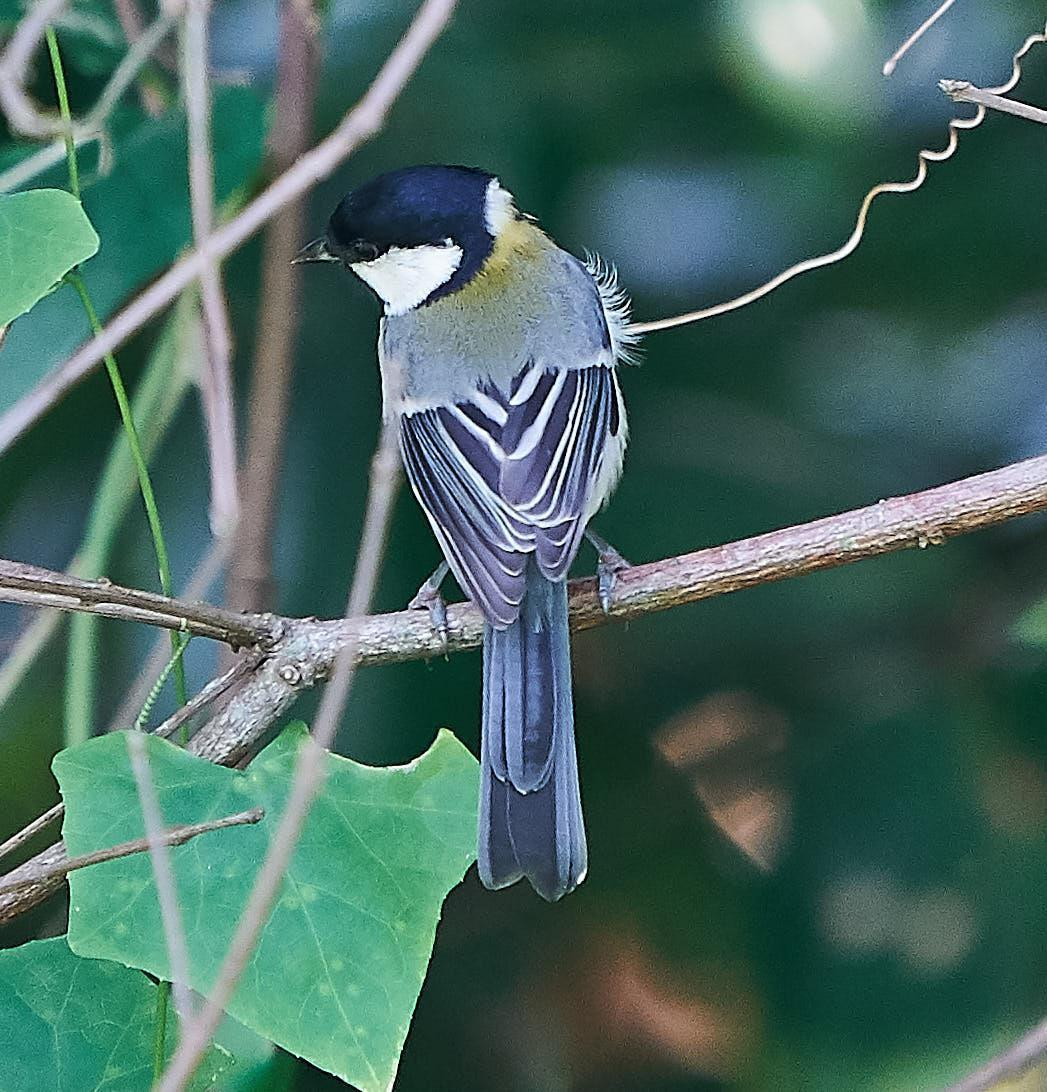 Japanese Tit Photo by Steven Cheong