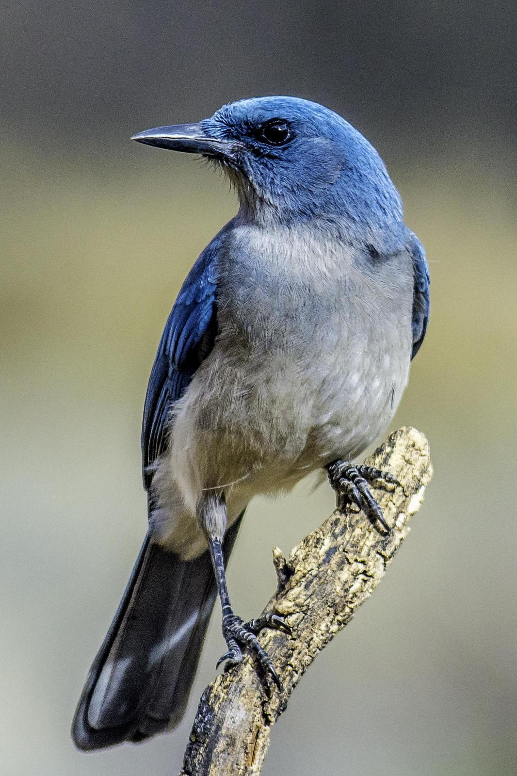 Mexican Jay Photo by Mason Rose