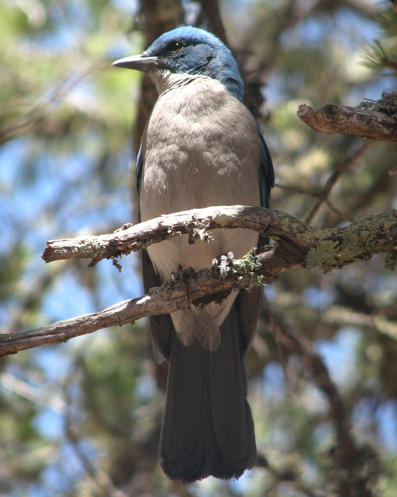 Mexican Jay Photo by Anne Terry