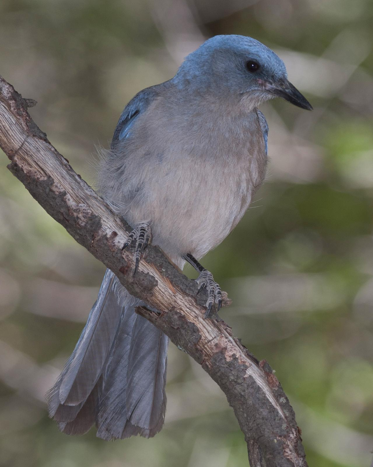 Mexican Jay Photo by Jeff Moore