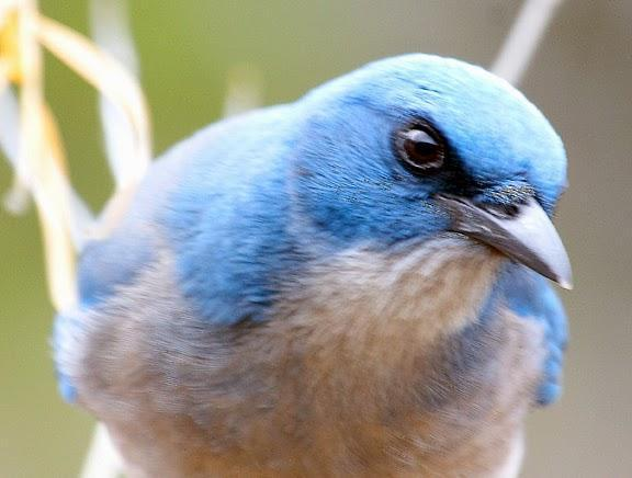 Mexican Jay Photo by Dan Tallman