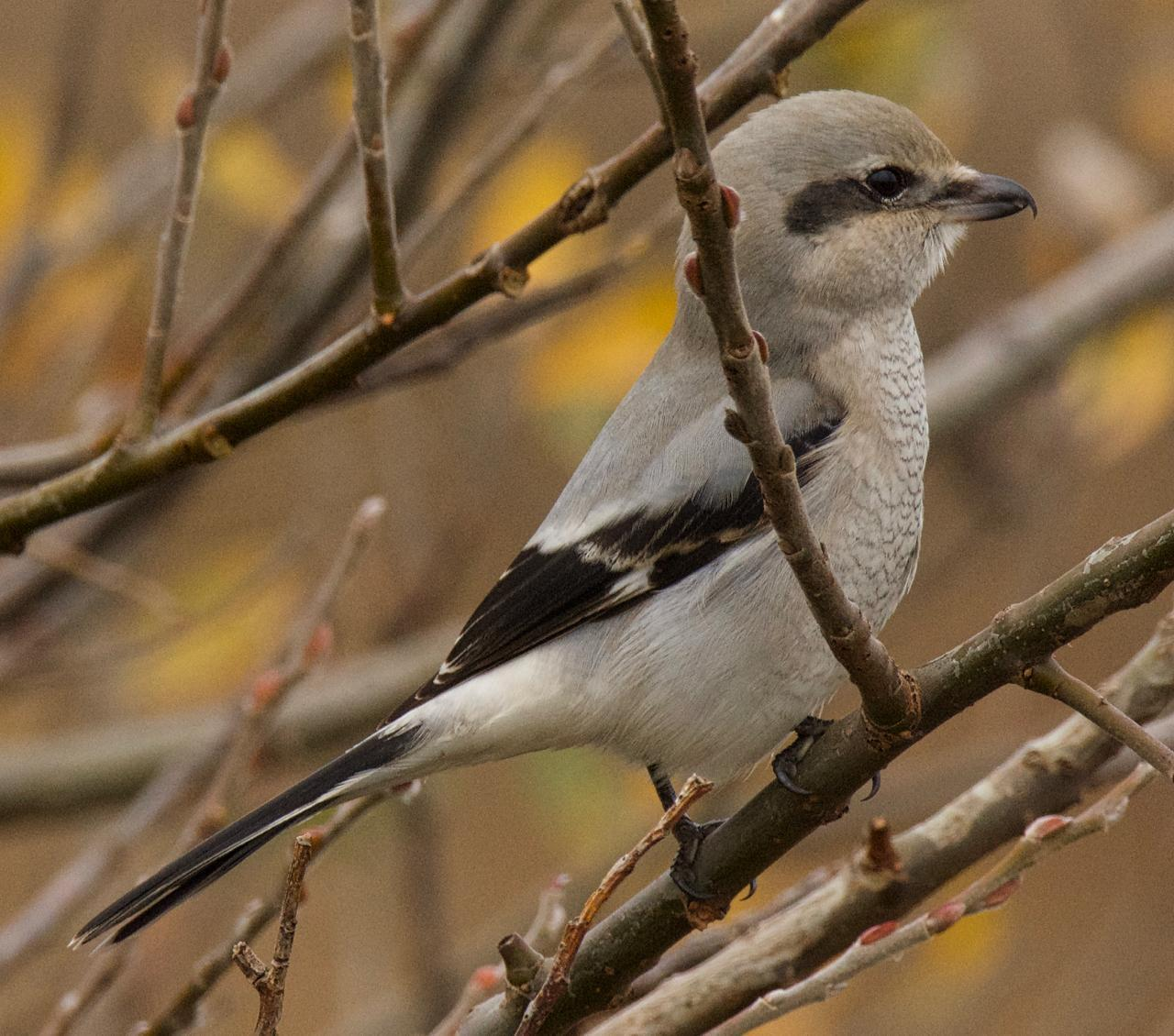 Northern Shrike (American) Photo by Brian Avent