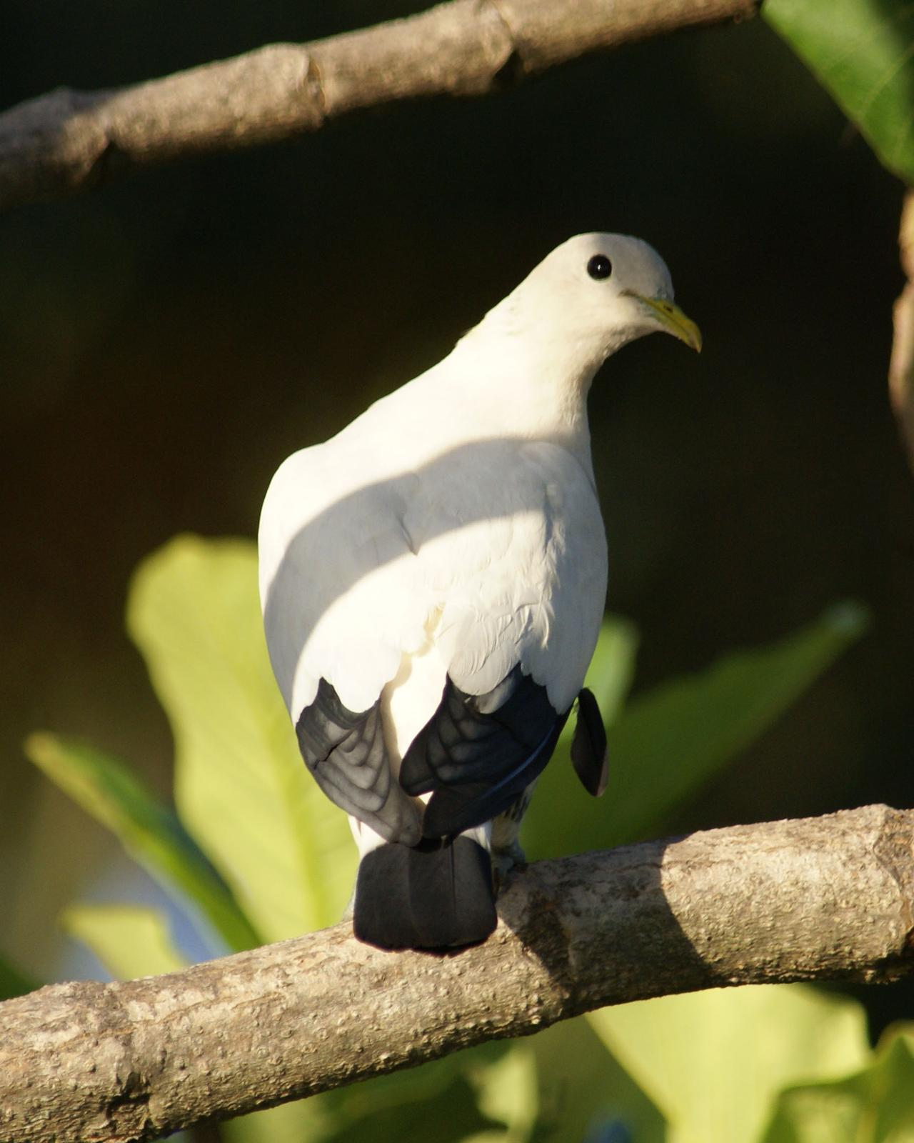 Torresian Imperial-Pigeon Photo by Steve Percival
